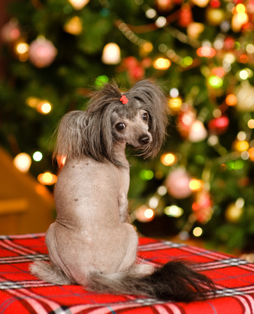 dogs sitting: Chinese crested puppy dog looking back Stock Photo