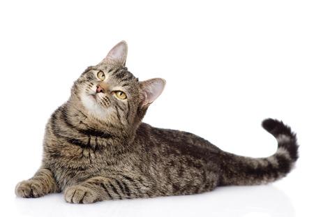 tabby kat liggen en opzoeken van geïsoleerde op witte achtergrond