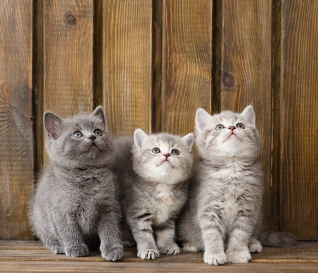 british pussy: group british shorthair kittens looking up