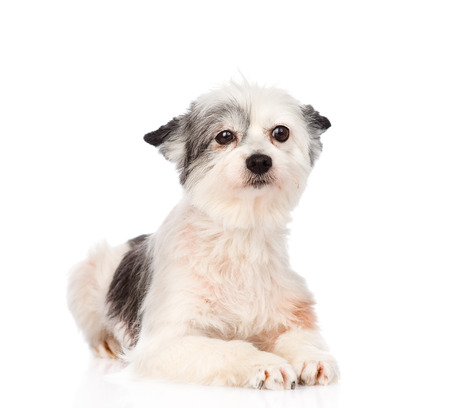 mixed breed dog looking at camera  isolated on white background photo