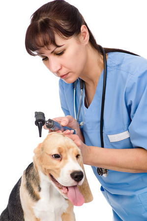 Vet examining a dog s ear with an otoscope  isolated on white background Stock Photo - 26366151