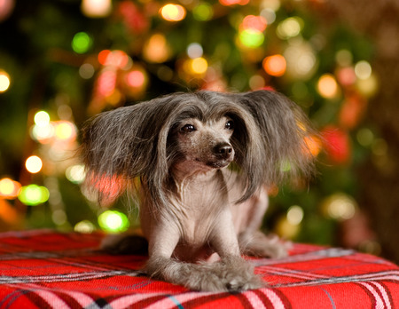 Chinese crested dog puppy lying in front photo