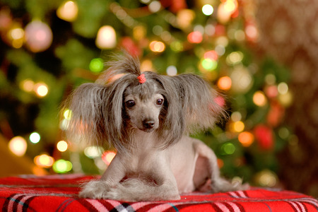 Chinese crested dog puppy lying photo