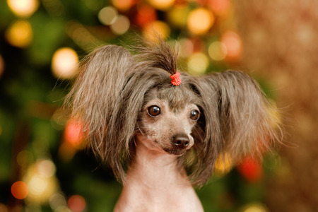 Chinese crested dog puppy in front view photo