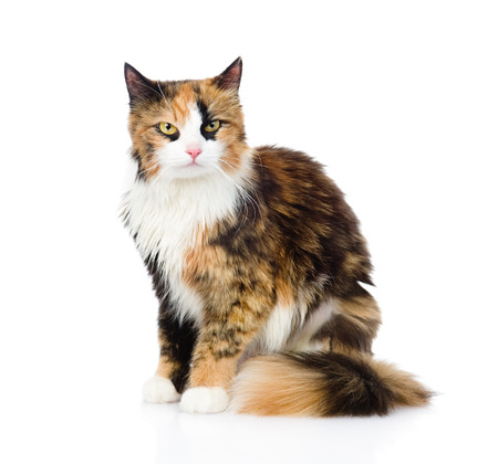 calico whiskers: Calico cat sitting and looking at camera  isolated on white background