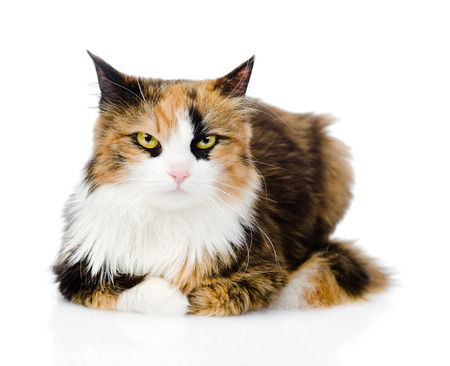 calico cat: Calico cat in front  isolated on white background Stock Photo