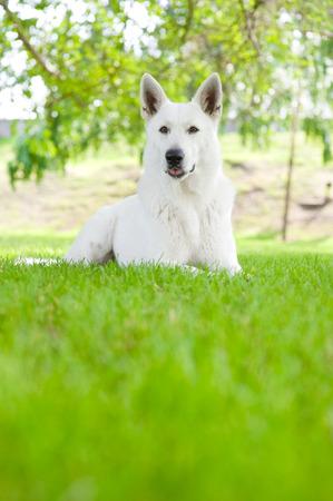 Purebred White Swiss Shepherd lying on the grass photo