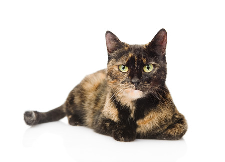 calico cat: cat lying and looking at camera  isolated on white background