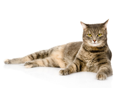 Gray cat lying and looking at camera  isolated on white background
