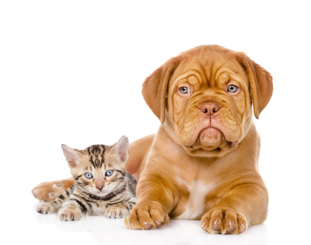 gaze: Bordeaux puppy dog and bengal kitten together  isolated on white background