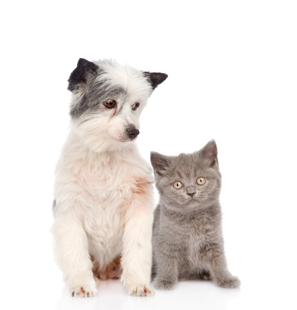 dog and little british shorthair kitten together  isolated on white background photo