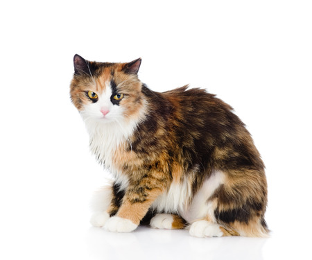 calico whiskers: tricolor cat sitting and looking at camera  isolated on white background Stock Photo