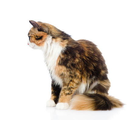 calico cat: Calico cat in profile  isolated on white background