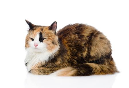 calico cat: sleeping calico cat  isolated on white background Stock Photo