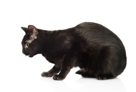 side profile: Black cat in profile  isolated on white background