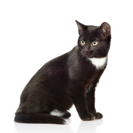 Black cat sitting and looking away  isolated on white background photo