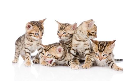 prionailurus: group bengal kittens  isolated on white background Stock Photo