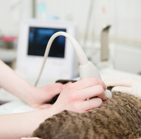 performs: close-up mano veterinario esegue un esame ecografico un gatto Archivio Fotografico