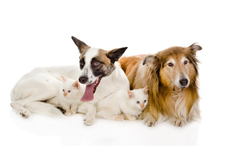two adult dogs and tiny kittens  isolated on white background photo