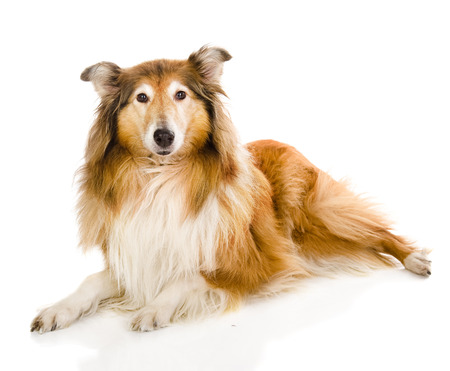scottish collie: rough collie - Scottish shepherd  lassie   sable color  isolated on white background Stock Photo