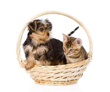 bengal kitten and Yorkshire Terrier puppy sitting in basket  isolated on white background photo