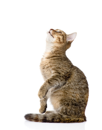 tabby cat: cat sitting in profile and looking up  isolated on white background