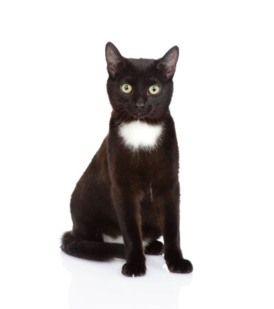 Black cat sitting in front and looking at camera  isolated on white background photo