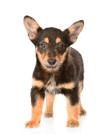 small mixed breed puppy dog standing in front  isolated on white background