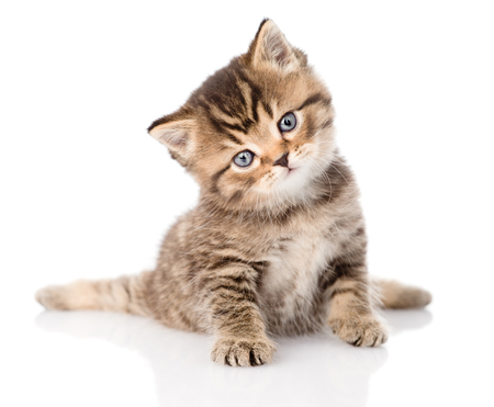 baby british tabby kitten sitting in front  isolated on white background Stock Photo - 27403618