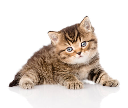 baby british tabby kitten looking at camera  isolated on white background Stock Photo - 27403619