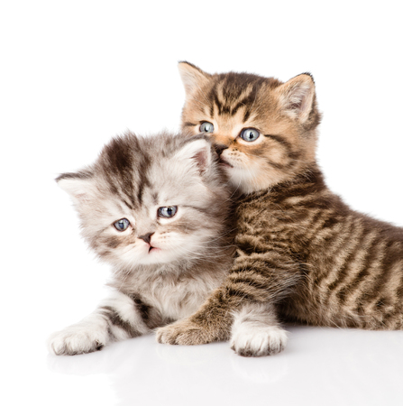 portrait of two british kittens  isolated on white background photo