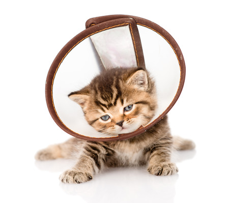 injure: british kitten wearing a funnel collar  isolated on white background