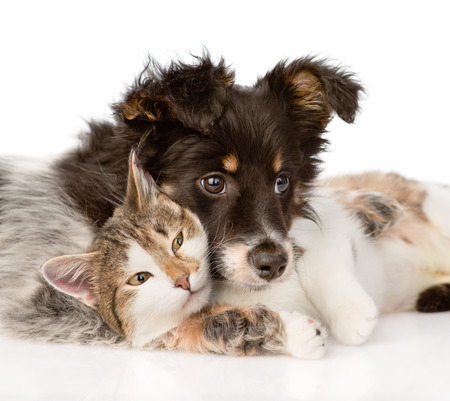 puppy and kitten: close-up dog with cat together  isolated on white background