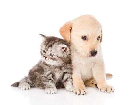 puppy love: cachorro de perro golden retriever y atigrado gato brit�nico se sienta junto aisladas sobre fondo blanco