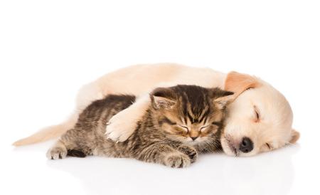 durmiendo: cachorro de perro golden retriever y dormir gato brit�nico junto aisladas sobre fondo blanco Foto de archivo