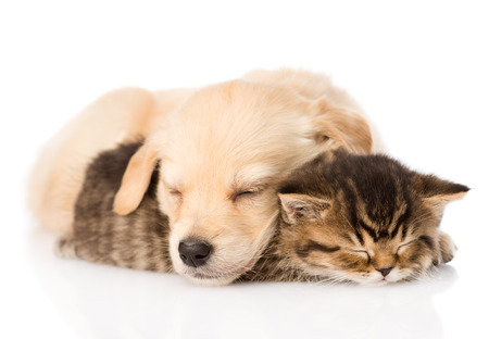 golden retriever puppy dog sleep with british kitten  isolated on white background
