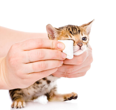 wipe: veterinary surgeon wipes eyes to a cat  isolated on white background