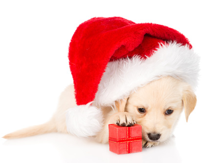labrador christmas: golden retriever puppy dog with gift and santa hat  isolated on white background Stock Photo