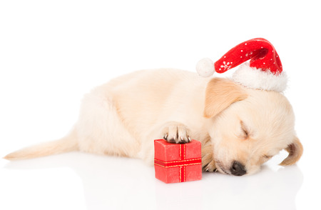 labrador christmas: golden retriever puppy dog with santa hat and gift  isolated on white background Stock Photo