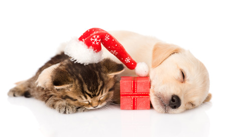 golden retriever puppy dogand british cat with santa hat and gif sleeping together  isolated on white background photo