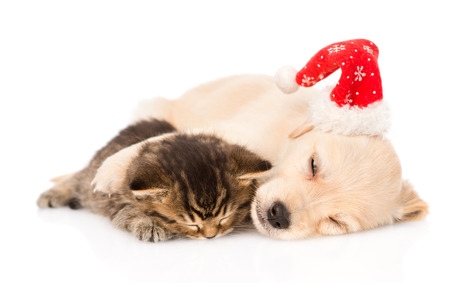 golden retriever puppy dog  with santa hat and british cat sleeping together  isolated on white background photo