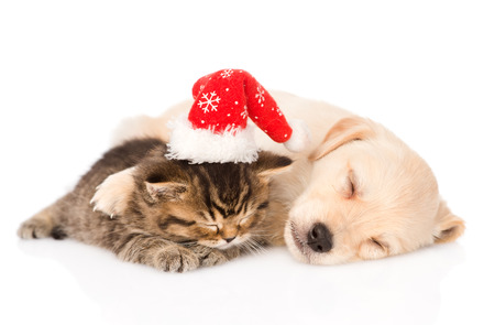 golden retriever puppy dog  and british cat with santa hat sleeping together  isolated on white background photo