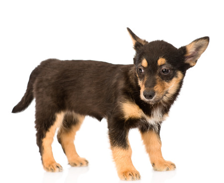 mixed breed puppy dog in full height  isolated on white background photo