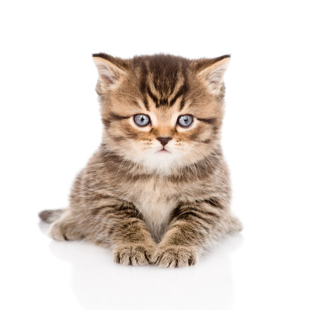 baby british tabby kitten lying in front  isolated on white background Stock Photo - 27675077