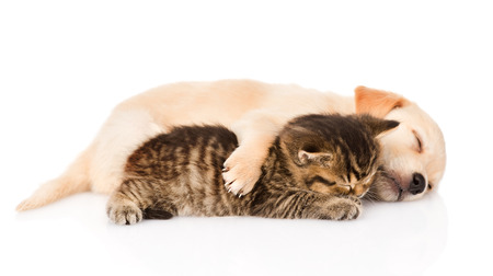 golden retriever puppy dog and british cat sleeping together  isolated on white background photo