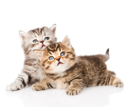 two british kittens looking up  isolated photo