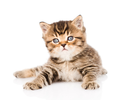 baby british tabby kitten lying in front  isolated Stock Photo - 27747403