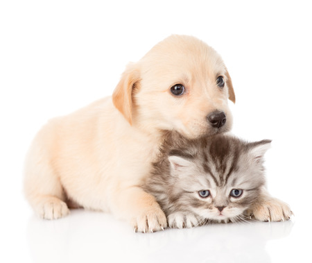 golden retriever puppy dog and british cat together  isolated on white background