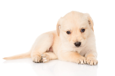 golden retriever: golden retriever puppy dog  isolated  Stock Photo