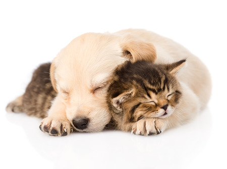 and relax: golden retriever puppy dog sleep with british kitten  isolated  Stock Photo